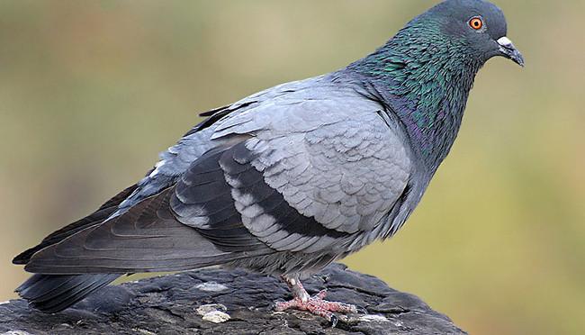 Факты о голубях в картинках
